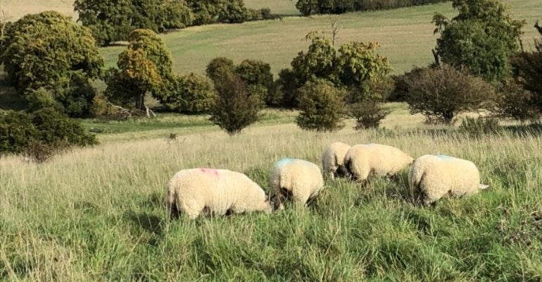 iPhone 8 Samantha camera sample sheep